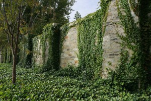 privacy fence and english ivy