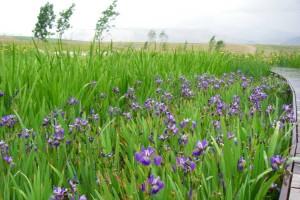 wetland plantings, iris
